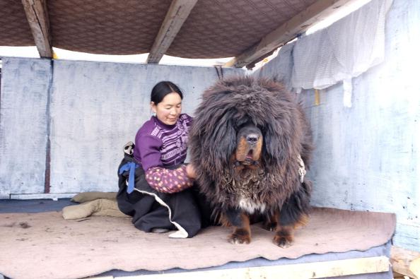 tibetanmastiff2.jpg