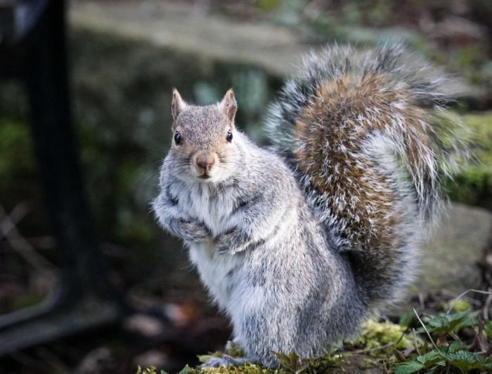 Squirrel Getty 1128818956.jpg