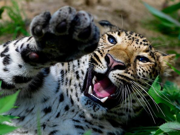 leopard-cub-attack-header.jpg