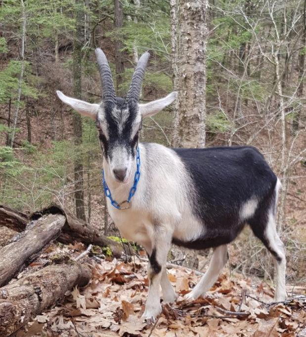 america-goat.png