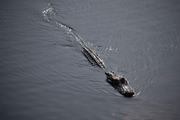 Aligator-1149366432.jpg