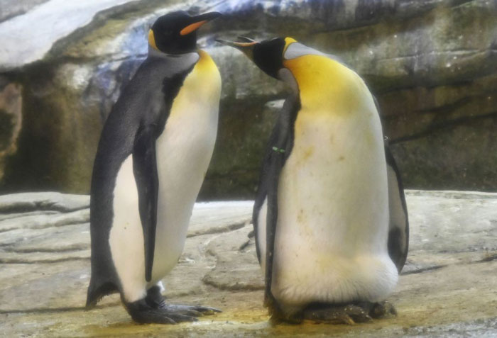 King-Penguin-1161830978.jpg