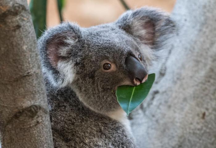 Koala Getty.jpg
