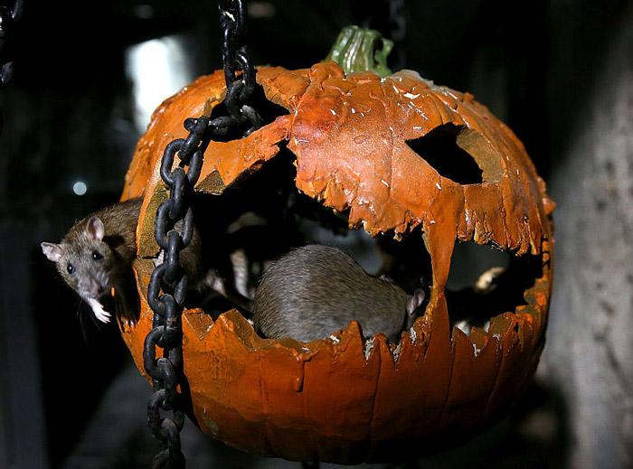 Rats-pumpkin-nightmare-457154748.jpg