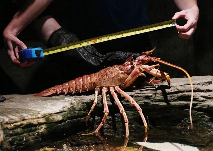Lobster-908592434.jpg