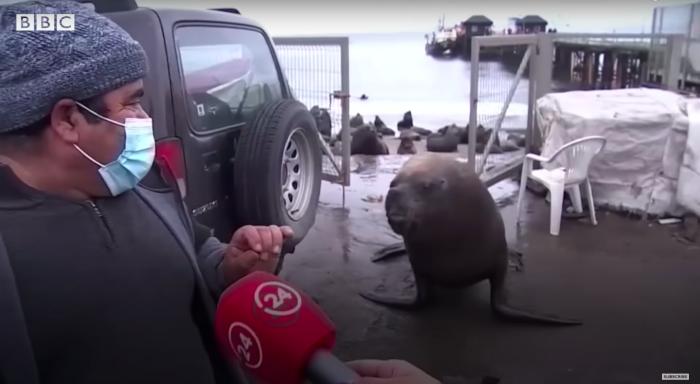 Sea_lion_gatecrashes_Tv_Interview_Tomé_Chile.png