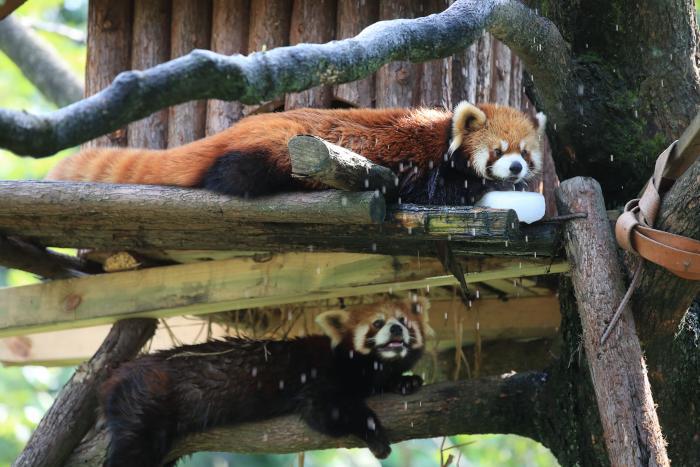 Red_Panda_Couple_Resting_Ningbo_Zoo.jpeg